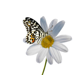 Daisy with Butterfly