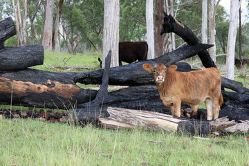 Brangus calf stands amongst burnt logs