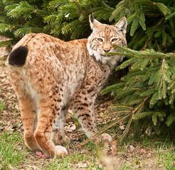 Bobcat , lynx