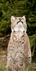 lynx , bobcat