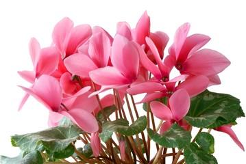 pretty pink cyclamens