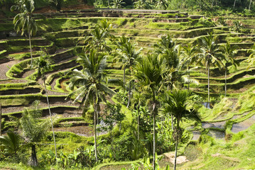 Rice terrace in Bali with Palm trees