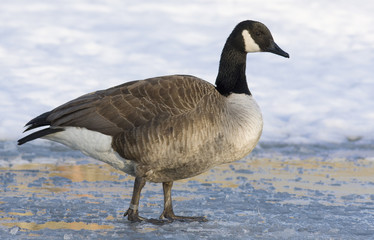 Barnacle goose on the ice