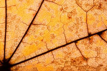 Herbstlaub Ahorn Detail