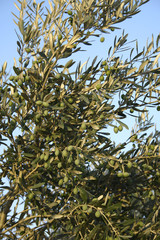 Green olives in tree