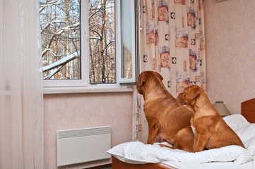 Dogs looking out of the window