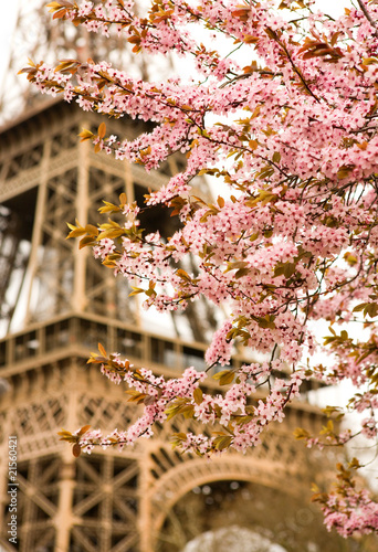 Spring in Paris  Bloomy cherry tree and the Eiffel Tower
