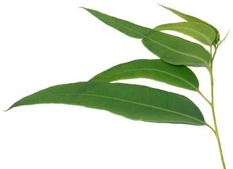 feuilles d'eucalyptus, fond blanc