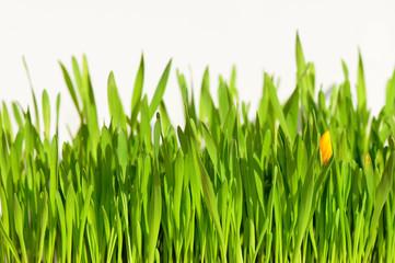 Grüne Grass