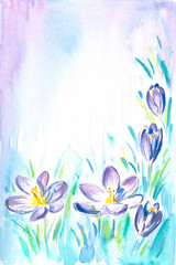 Background with crocus  watercolor painted.