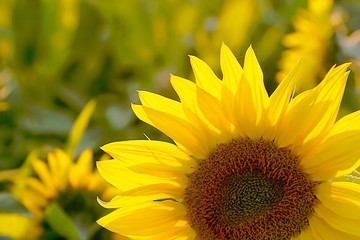 Fototapete - Sunflower in the field backlit by the light of the setting sun