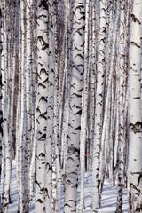 Keuken foto achterwand Berkbosje Birch forest
