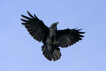 Black crow inflight with wings spread wide.