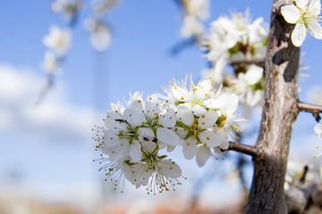 primavera blanca