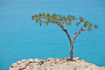 Boswellia tree (Frankincense tree) with sea background