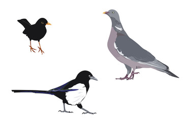 illustration of three common bird species