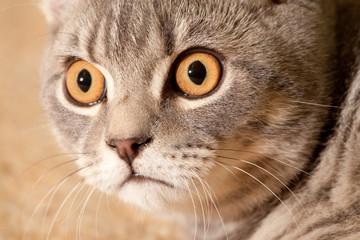 cat,eyes