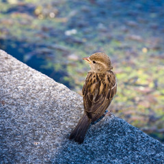 Sparrow at water