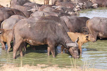 herd of cape buffalo at waters edge
