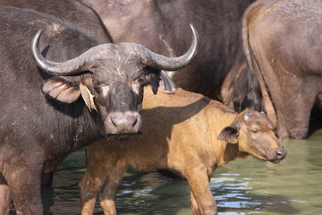 cape buffalo mother and calf in water