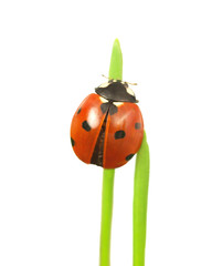 Ladybug on stalk isolated on white