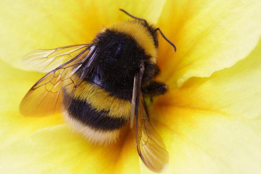 bumble bee on yellow