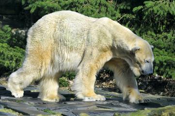 Ours blanc marchant de profil