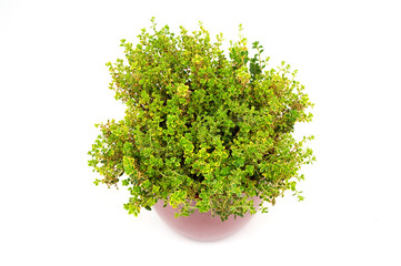 Lemon Thyme herb in pot