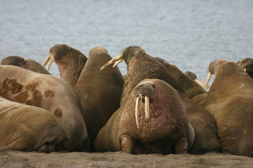 Canvas Prints Arctic Walruses in the High Arctic around Svalbard