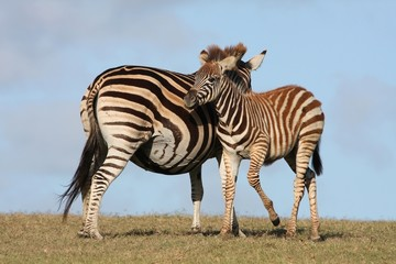 Baby Zebra and Mom
