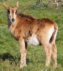 Young Roan Antelope
