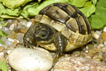 juvenile of greek (  spur-thighed ) turtle on sand