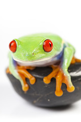 Red eyed tree frog sitting on white background