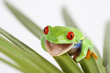 Close-up of red eyed tree frog sitting on leaf