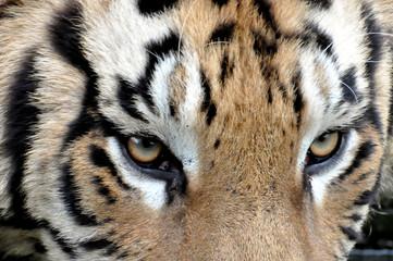Tiger schaut, beobachtet