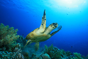Hawksbill Turtle takes off from a coral reef