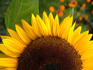 Sonnenblume-07