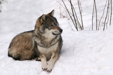 a lone wolf lying in the snow