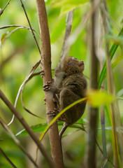 Fototapeten Eichhornchen Philippine tarsier