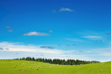 Wall Mural - Green field and grazing sheep