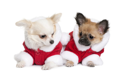 Front view of Two Chihuahuas in Santa coats, lying down