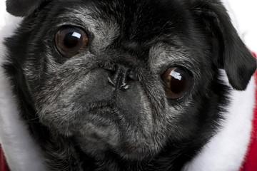 Close-up of Pug in Santa coat, 10 years old