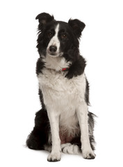 Front view of Border collie sitting in front of white background