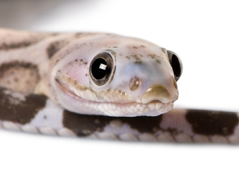 Close-up of a scaleless corn snake or red rat snake