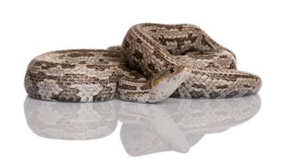 Baird's rat snake or Baird's ratsnake or Baird's pilot snake