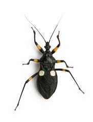 Platymeris biguttatus is a genus of assassin bug, standing