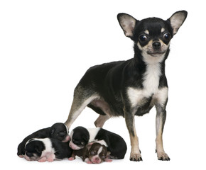 Mother Chihuahua  and her puppies, 4 days old,