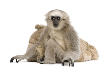 Young Pileated Gibbon, 1 year old, sitting with stuffed animal