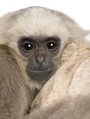 Close-up of Young Pileated Gibbon, 1 year old
