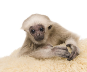 Young Pileated Gibbon, 4 months old, lying down on rug